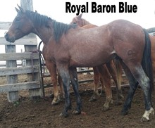 ROYAL BARON BLUE