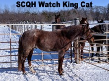 SCQH WATCH KING CAT